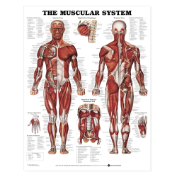 پاورپوینت The Muscular System
